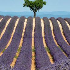 Lavendelfeld mit attraktivem Baum - Bildtankstelle.de
