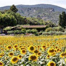 Sonnenblumenfeld in der Provence - Bildtankstelle.de