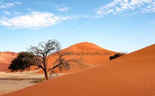einsamer Baum mit roter Düne bei Sossusvlei, Namibia, Afrika - Bildtankstelle.de