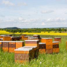 Bienenstöcke am Rapsfeld, Nähe Berus, Saarland - Bildtankstelle.de