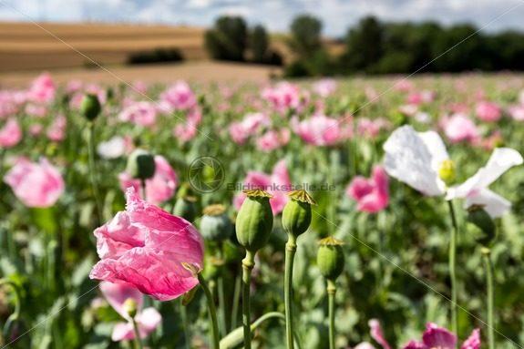 blühende Mohnfelder bei Schwarzenacker - Bildtankstelle.de - Bilddatenbank für Foto-Motive aus SAAR-LOR-LUX