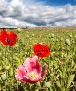 rosa blühende Mohnfelder bei Einöd, Schwarzenacker, Nähe Homburg, Saarland - Bildtankstelle.de - Bilddatenbank für Foto-Motive aus SAAR-LOR-LUX
