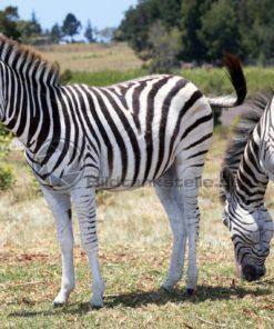 freundliche Zebra in Südafrika - Bildtankstelle.de