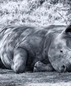 imposantes Nashorn in Südafrika - Bildtankstelle.de