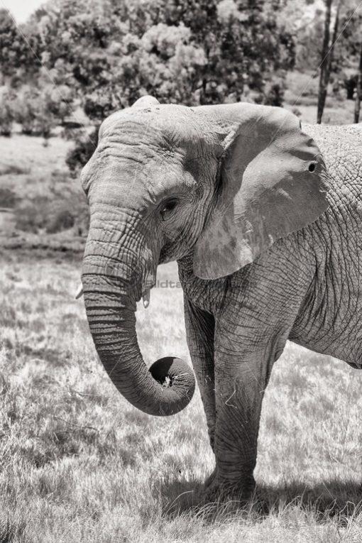 kraftvoller Elefant in Südafrika - Bildtankstelle.de