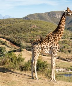 stolze Giraffe in Südafrika - Bildtankstelle.de