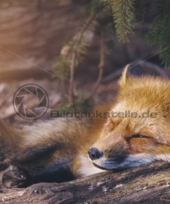 Schlafender Fuchs - Bildtankstelle.de