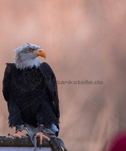 Weißkopfseeadler Frontal - Bildtankstelle.de