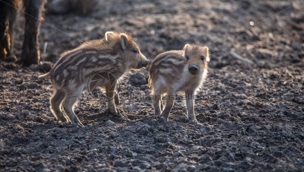 Wildschweinfrischlinge - Bildtankstelle.de